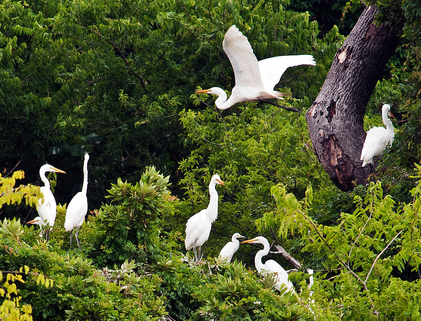 Resident egrets on Monkey Island, a small island in the Currituck Sound which serves as a nature preserve