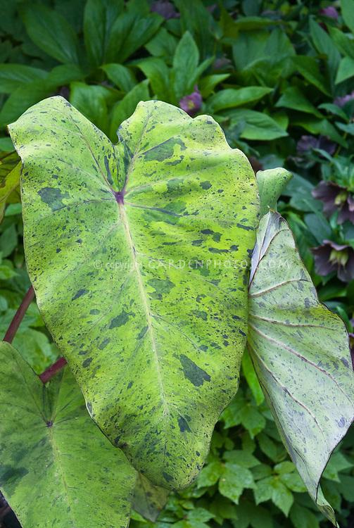Colocasia Mojito tropical plant, elephant's ears, mottled foliage