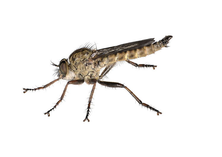 Brown Heath Robberfly - Machimus cingulatus