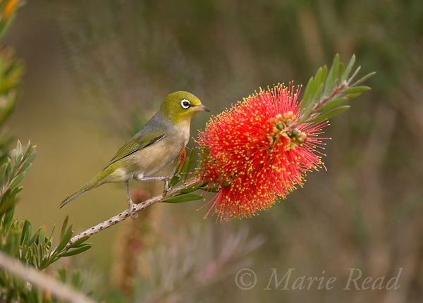 Silvereye (Zosterops lateralis), attracted to feed on nectar from bottlebrush (Callistemon sp.) flower, Kangaroo Island, Australia