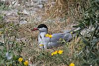 Küsten-Seeschwalbe, Küstenseeschwalbe, brütend, auf dem Nest, Seeschwalbe, Sterna paradisaea, Arctic tern