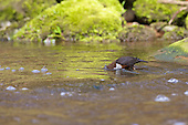 White-throated Dipper (Cinclus cinclus) with head under strong flowing water searching for Caddisfly larvae. Dippers have a remarkable way to catch food in a niche area. They are able to dive under water readily at will and walk along the bottom in search of caddis fly larva and other food.
