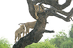 Lions have no trouble climbing trees -- it's getting down that's a problem.<br />