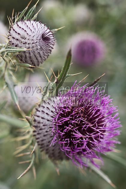Europe/France/Aquitaine/64/Pyrénées-Atlantiques/Pays-Basque/Aussurucq: Flore dans les paturages Ahusquy