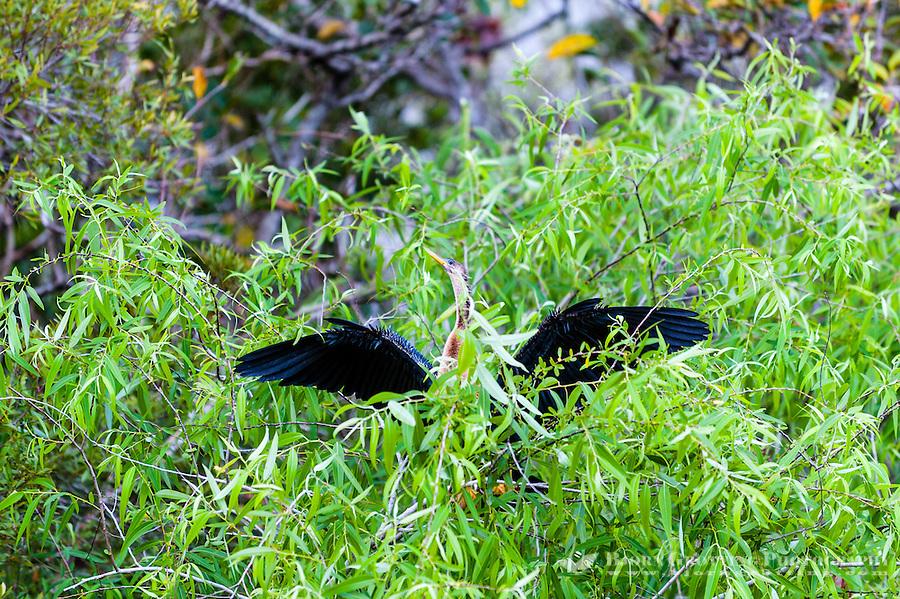 US, Florida, Everglades, Shark Valley. Female Anhinga.