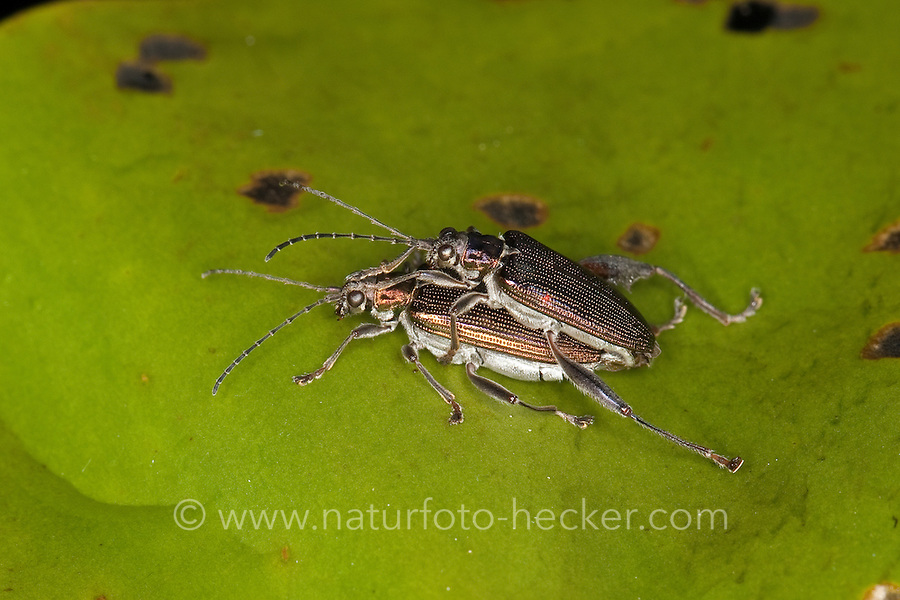 Rohrkäfer, Schilfkäfer, Kopulation, Kopula, Paarung auf dem Schwimmblatt einer Seerose, Donacia crassipes, reed beetle