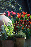 Spring flowering tulips and phlox growing in terracotta containers