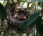 Three baby cardinals in the nest.