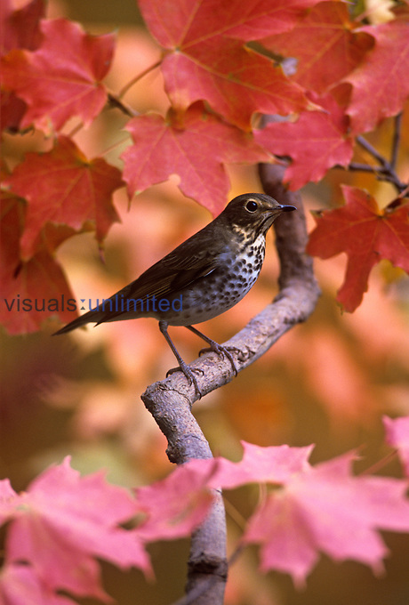 Swainson's Thrush in fall Maples (Catharus ustulatus), North America.