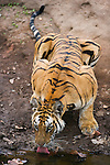 India, Bandhavgarh National Park, Bengal tigress drinking at water hole, early morning, dry season