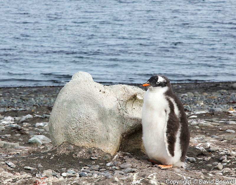 A Gentoo penguin chick shelters next to a bleached whale vertebrae on Aitcho Island of the South Shetland Islands near the Antarctic Peninsula.