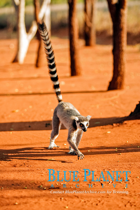 Ring-tailed Lemur (Lemur catta), adult, running, Berenty Game Reserve, Madagascar, Africa