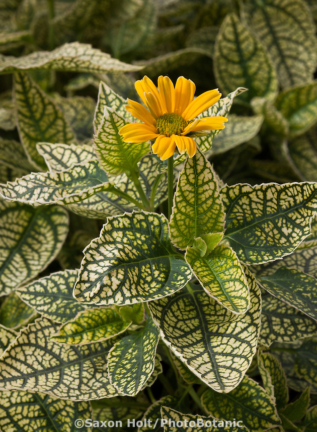 Variegated foliage perennial Heliopsis helianthoides 'Winter Sun'; Smooth oxeye or false sunflower from Hishtil nursery