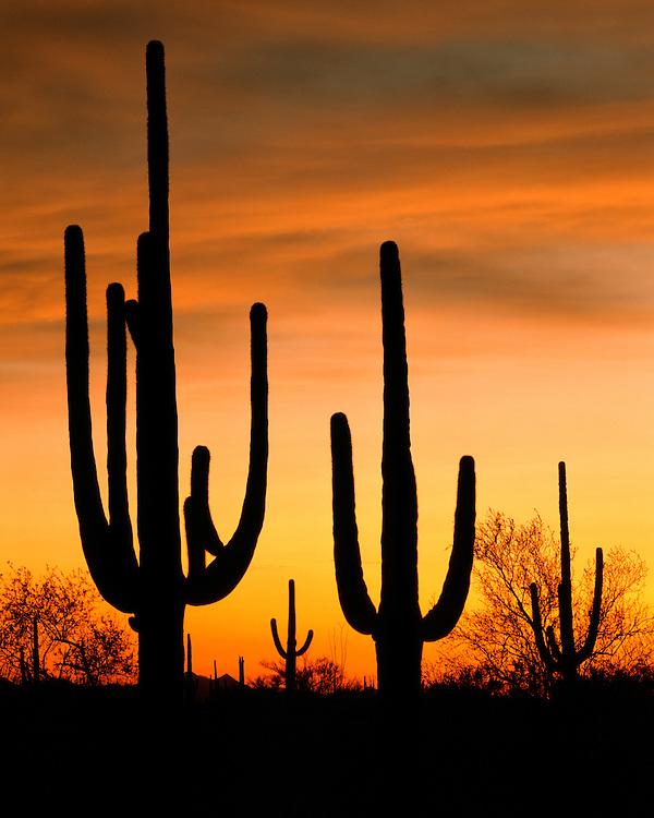 Saguaro cacti silhouetted at sunset; Saguaro National Park, AZ