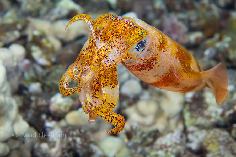 The male oval squid, Sepioteuthis lessoniana, can reach 14 inches in length.  Hawaii.
