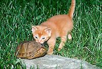 Box turtle ducks the exploratory interest of gold tabby kitten