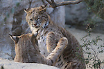 Male bobcats play at the Living Desert, CA.   Captive