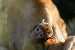 Baby Barbary Macaque clinging to adults back.