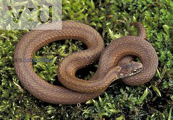 Red-bellied Snake ,Storeria occipitomaculata,, Eastern USA.