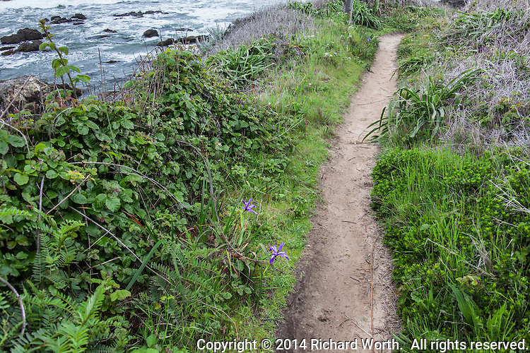 A dirt path lined with verdant growth and small splashes of purple, Douglas iris, above the rocky and rugged shore at Bean Hollow State Beach, California.
