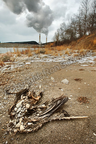 January 16, 2003; Nanticoke, Ontario, Canada; The stone covered carcass of a bird on a Lake Erie beach with Ontario Power Generation's Nanticoke thermal power-plant in the background. Photo © Ron Scheffler.