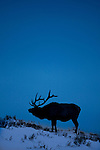 A bull elk is silhouetted by the evening sky, in Yellowstone National Park, Montana, USA, January 10, 2009.  Photo by Gus Curtis.