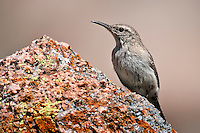 Rock Wren perched on granite rock