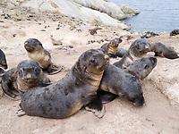Australian fur seal (Arctocephalus pusillus doriferus) newborn pups in colony creche, Bass Strait, Australia