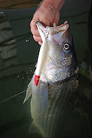 Striped bass caught on Cotton Cordell Pencil Popper topwater lure in Lake Greeson, Arkansas