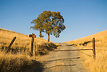 Old rusty gate and oak tree along a rural dirt road through the golden foothills of the SIerra Nevada