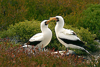 The Nazca booby is the largest of the three booby species on the Galápagos Islands. Once regarded as a subspecies of the masked booby, it is now recognized as a separate full species. They nest on the ground along the cost and may have upwards of 50 thousand pairs in the Galápagos archipelago.