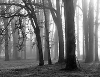 Oak trees and fog. Near Alpine, Oregon