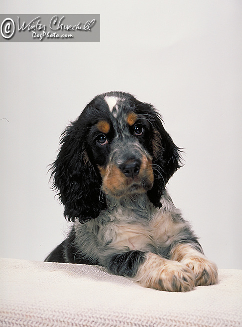 english cocker spaniel Shopping cart has 3 Tabs:<br />
