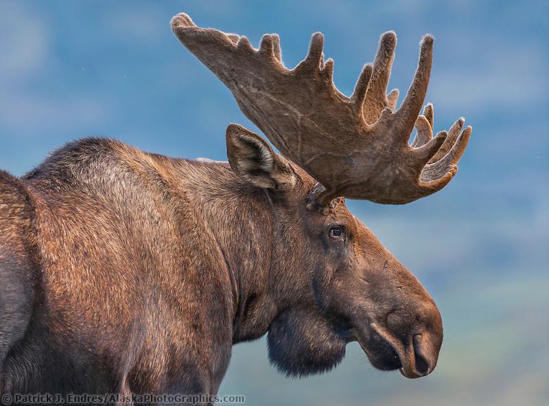 Portrait of a large bull moose in velvet antlers standing on the tundra in Denali National Park, Interior, Alaska.