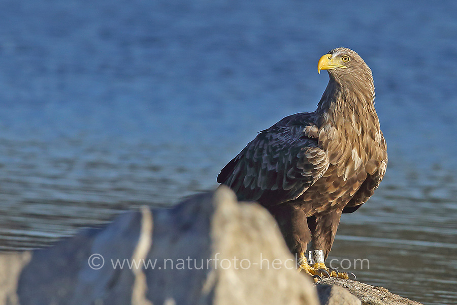 Seeadler, beringt, Vogelring, See-Adler, Adler, Haliaeetus albicilla, White-tailed Eagle, eagle of the rain, sea grey eagle, erne, gray eagle, white-tailed sea-eagle, Pygargue à queue blanche