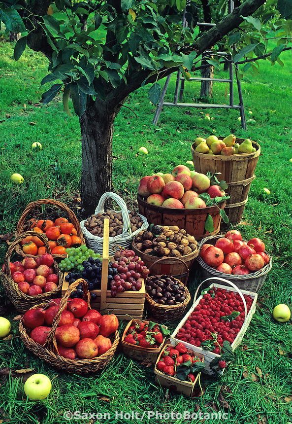Fall harvest baskets of fruit: apples, grapes, nuts and berries in apple orchard