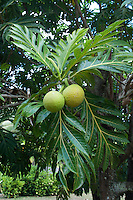 Breadfruit plant at Kamokila Hawaiian Village, Wailua River Valley, Kauai; breadfruit leaves are often used in Hawaiian quilt designs.