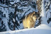 Gray Wolf (Canis lupus) in winter snow.