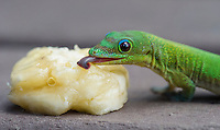 A cute gecko (gold dust day gecko) licks a banana on Hawai'i.