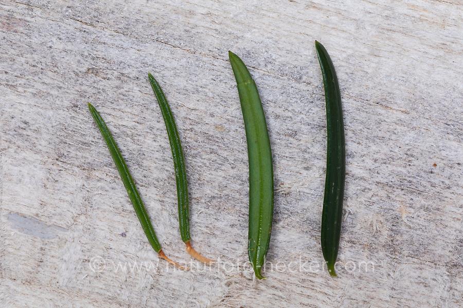 Vergleich von Fichte (links) mit Eibe (rechts), Fichtenzweig mit Eibenzweig, Fichtennadel mit Eibennadel, Fichtennadeln mit Eibennadeln. Gewöhnliche Fichte, Rot-Fichte, Rotfichte, Picea abies, Common Spruce, Norway spruce, L'Épicéa, Épicéa commun. Europäische Eibe, Eibenbaum, Taxus baccata, European yew, Common yew, yew, L'If commun, If