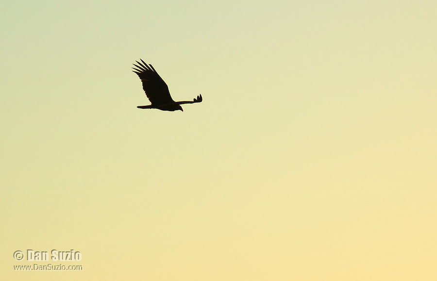 Turkey vulture, Cathartes aura, at sunset. Saguaro National Park, Arizona