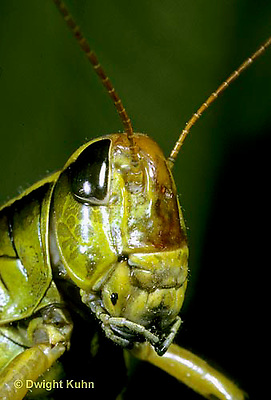 "OR03-023b  Grasshopper - face, short horned or ""true"" grasshopper, two-striped grasshopper - Melanoplus bioittatus"
