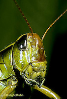 """OR03-023b  Grasshopper - face, short horned or """"true"""" grasshopper, two-striped grasshopper - Melanoplus bioittatus"""