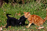 Black Labrador retriever puppy (AKC) playing with a kitten.  Fall.  Birchwood, WI