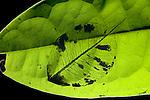 Leaf Skeleton, soft tissues devoured by caterpillars showing veins of leaf, Ranomafana National Park, Madagascar