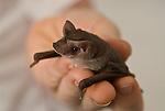 Captive free-tail microbat