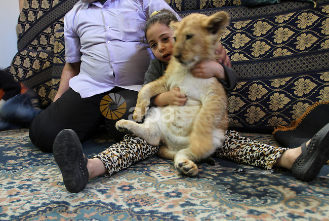 The granddaughter of Palestinian refugee Saad Eldeen Al-Jamal plays with his two African lion cubs inside his house at Al-Shabora refugee camp in Rafah in the southern Gaza Strip March 19, 2015. Al-Jamal has eventually achieved his dream of raising lions at home after acquiring the two cubs, whose parents are believed to have been smuggled into Gaza through a tunnel along the border with Egypt nearly three years ago. His family have named the female cub Mona, an Arab name, while the male lion was named Alex. Photo by Abed Rahim Khatib