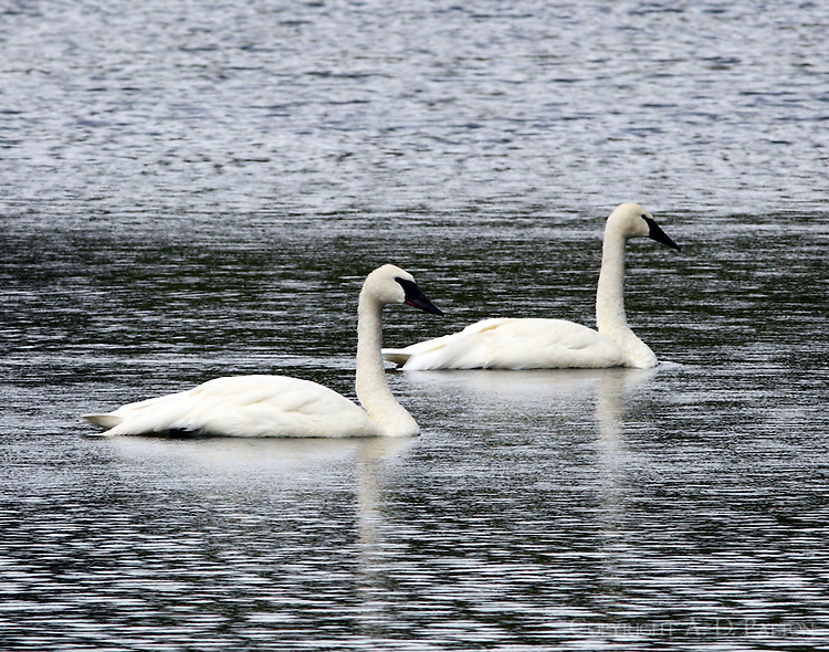 Adult trumpeter swans