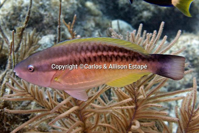 Scarus taeniopterus, Princess parrotfish, Florida Keys