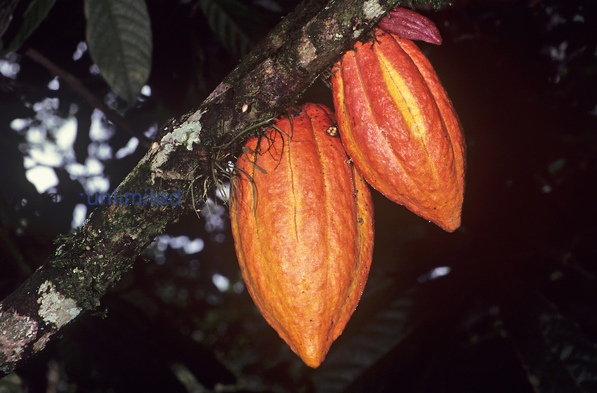 Ripe Cacao pods (Theobroma cacao) the source of chocolate.